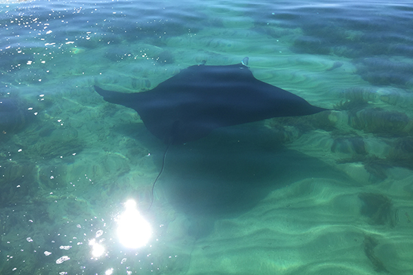 Sting Ray, Busselton Beach